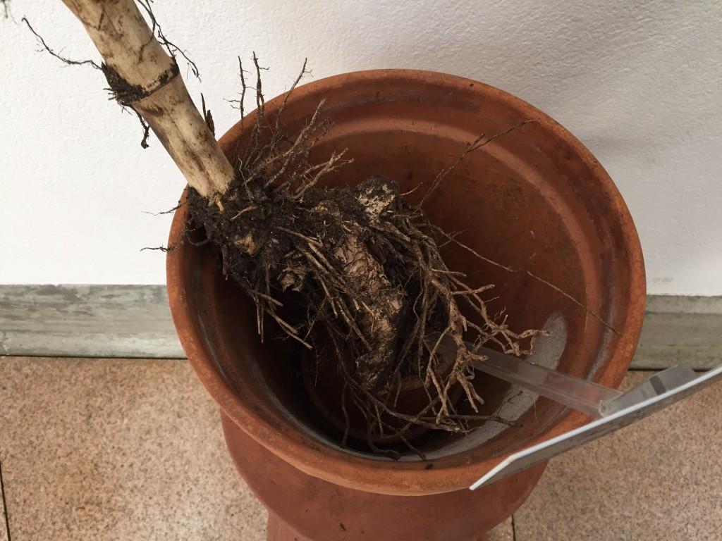 Bamboo rhizomes (underground stems). Photo by Nsikan Akpan
