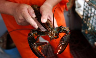 Commercial fishermanChris Welch measures a lobster to ensure it meets size requirements in Kennebunkport, Maine, August 1, 2008. Welch, who owns his own boat and has been making a living catching lobster since he was 15 years old, fishes all year round to pay his way through school. Photo by Jim Young/Reuters