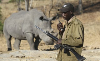 An armed ranger talks on his radio in front of a white rhinoceros at the Imire Rhino and Wildlife Conservation Park near Marondera, east of the capital Harare. A new study found that roughly 60 percent of large herbivores are threatened with extinction because of several factors including human poaching and habitat loss.