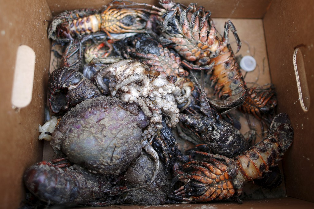 A clean up worker holds a box of sea creatures killed by an oil slick along the coast of Refugio State Beach in Goleta, California, May 21, 2015. Photo by Lucy Nicholson/Reuters