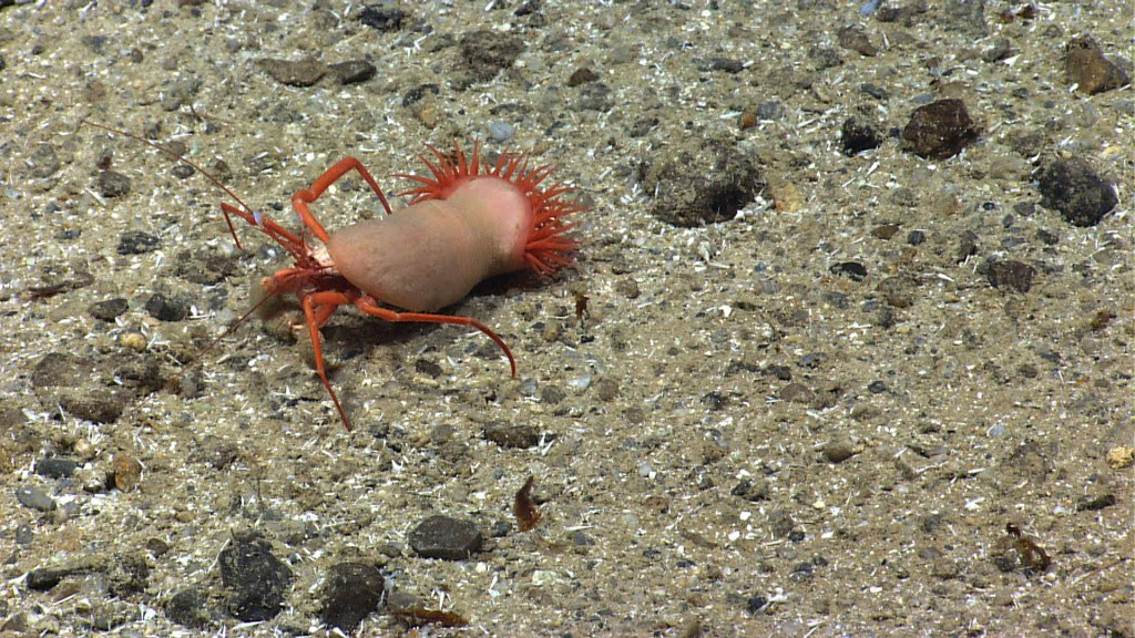 The Okeanos Explorer came across this hermit crab uses an anemone instead of a shell while exploring the Puerto Rico Trench. Image courtesy of NOAA Okeanos Explorer Program, Océano Profundo 2015: Exploring Puerto Rico's Seamounts, Trenches, and Troughs