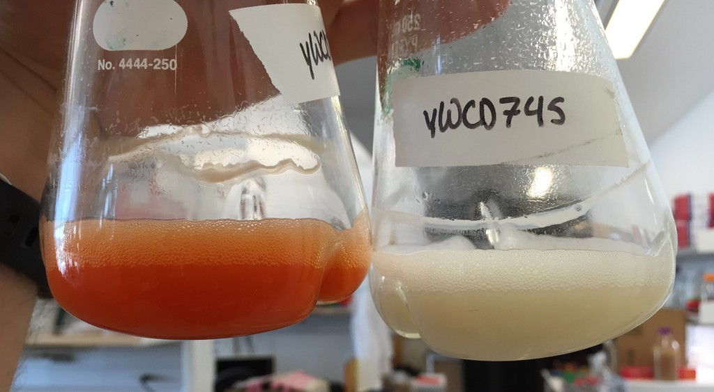 Synthetic biologist at the University of California, Berkeley show off their brewer's yeast for opiates. The beaker on the left contains a yeast strain that changes color when a key ingredient for opiates is ready. This color-coded biosensor allowed the researchers to make (S)-reticuline (right beaker; white liquid), an important chemical predecessor of opiates like codeine and morphine.