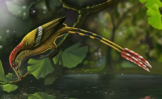 Reconstruction of the Cretaceous fossil bird from the Araripe Basin, Brazil. Illustration by Deverson Pepi