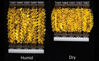 Artificial muscles -- called HYDRAs -- are powered by bacterial spores and evaporation.  Photo by Xi Chen