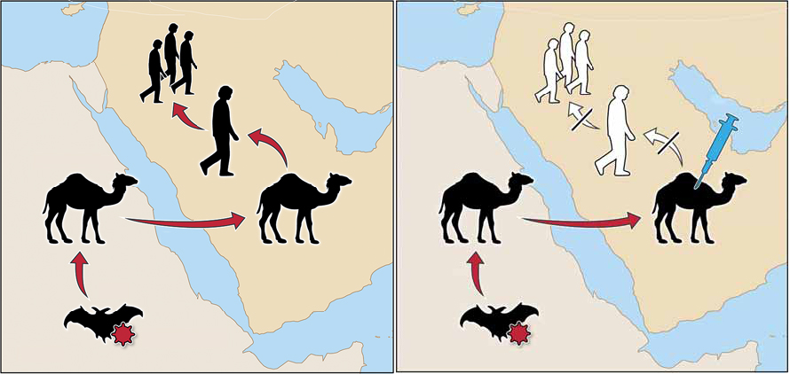 Based on DNA sequencing, researcher speculate that MERS coronavirus started in infected bats in Egypt or the horn of Africa (left panel). They suspect that the winged mammals transmitted the microbe to one-humped camels, where the virus circulated possibly for decades, before hopping into humans. Since camels are an accessible intermediate host, some groups have proposed vaccines for the hooved animals to prevent future spread to humans. Source: Papaneri, AB et al. Expert Rev. Vaccines. 2015.