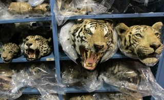 A collection of confiscated cat rugs  held by the U.S. Fish and Wildlife Service at their repository in Commerce City, Colorado. Photo by Rick Wilking/Reuters