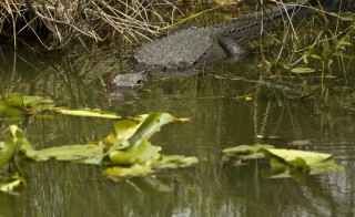 An alligator suns itself along the Anhinga Trail at Everglades National Park, Florida April 22, 2015. U.S. President Barack Obama is visiting the subtropical swamps of the park on Wednesday, part of a push to get Americans thinking and talking about the damage climate change is causing close to home. REUTERS/Jonathan Ernst - RTX19VED