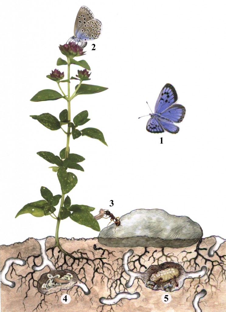 In a battle of three armies, Large Blue butterflies (1) are lured to oregano plants where the insect flyers lay their eggs (2). After two weeks, the consequent caterpillars crawl to the bottom of the plant where they exude a scent that tricks Myrmica ants into carrying the butterfly larvae into the underground colony. The caterpillars spend the next 11 months feeding on the ant grubs (4,5) and gaining 98 percent of their body mass, before ultimately killing the colony and escaping.