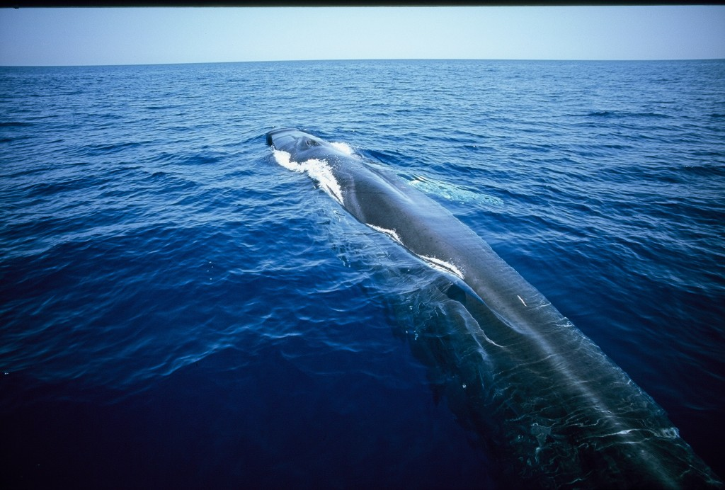 Grey on top with a white belly beneath, the Fin Whale, Balaenoptera physalus, is a slender, graceful giant and one of the world's largest mammals. It can grow as long as a tennis court and weigh as much as 10 elephants. Photo by  F. Bassemayousse