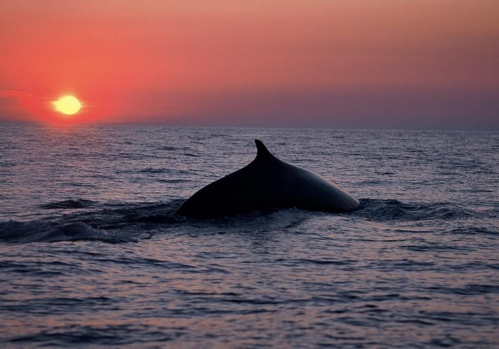 A Fin whale, Balaenoptera physalus, swimming in the Mediterranean Sea. These whales contain quadruple the amount of the toxic chemicals known as PCBs than the same whales in the Atlantic Ocean two decades ago, researchers have found. Photo by  F. Bassemayousse