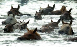 CHINCOTEAGUE, VA - JULY 29:  Wild ponies are herded into the Assateague Channel during the annual pony swim event from Assateague Island to Chincoteague on July 29, 2015 in Chincoteague, Virginia. Wild ponies were rounded up on the national wildlife refuge and herded across the channel to be auctioned off by the Chincoteague Volunteer Fire Company during the 90th annual event. (Photo by Alex Wong/Getty Images)