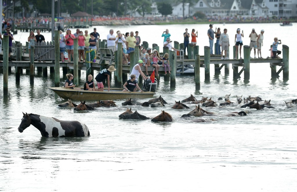 CHINCOTEAGUE, VA - JULY 29:  Wild ponies come ashore from the Assateague Channel during the annual pony swim event from Assateague Island to Chincoteague on July 29, 2015 in Chincoteague, Virginia. After crossing from the national wildlife refuge, some are auctioned off by the Chincoteague Volunteer Fire Company during the 90th annual event.  Photo by Alex Wong/Getty Images