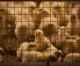 Marek's disease virus is severely lethal for chickens, especially baby chicks. A new study shows the vaccines for the disease give the virus a boost. Photo by Christopher Kimmel/via Getty Images.