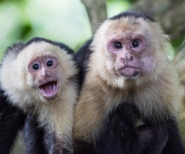 Two White - Faced capuchin monkeys on tree. Photo by Kryssia Campos/ Getty Images
