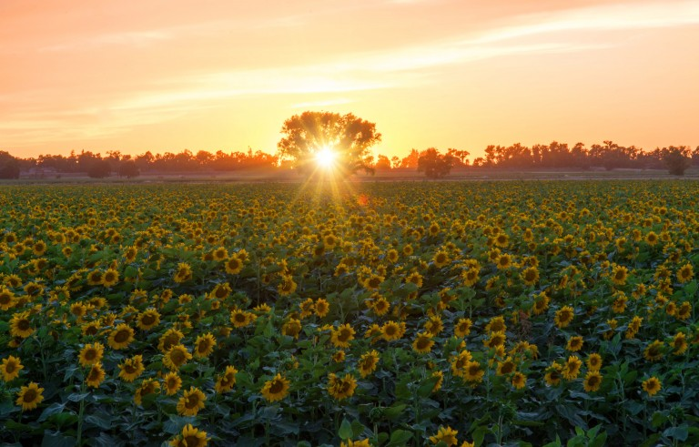 A sunflower field and a tree at sunset. Photo Janet Kopper / Getty Images