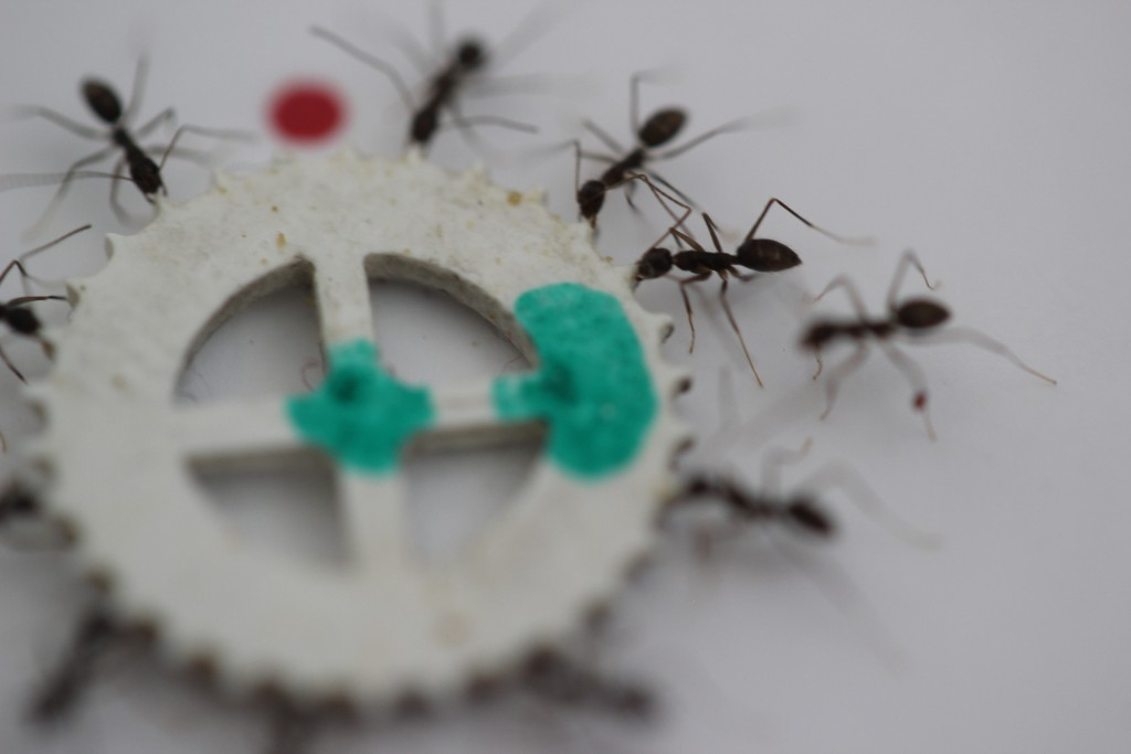 A group of longhorn crazy ants cooperate to transfer an item much too heavy for each of them to move alone. Photo by Ehud Fonio and Ofer Feinerman