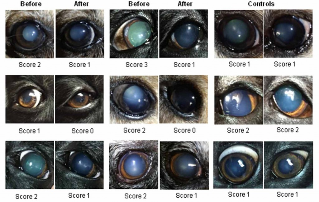Canine eyes with naturally occurring cataracts, before and after receiving lanosterol treatment. Controls (right columns) show dog eyes that didn't receive treatment.  Courtesy of Zhao et al., Nature, 2015.