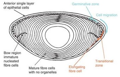 The life of an eye lens. New lens cells, which are modified skin cells, start on the upper rim of the eye's lens and migrate to its equator. The cells squeeze inwards and then elongate, creating a stack of layers like the innards of an onion. At the same time, the cells ditch their machinery, like its DNA-packed nucleus and mitochondria, in order to keep the lens clear. Courtesy of Moreau K.L. and King J.A.,Trends Mol Med., 2012.