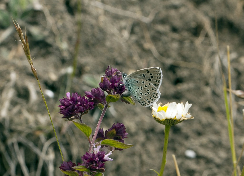 A pregnant Large Blue butterfly deposits an egg on an oregano flower (Origanum vulgare). Photo by David Simcox