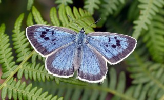 Large Blue butterflies (Maculinea arion; pictured) lay siege to ant colonies by using oregano as a beacon to find their prey.  Photo by David Simcox