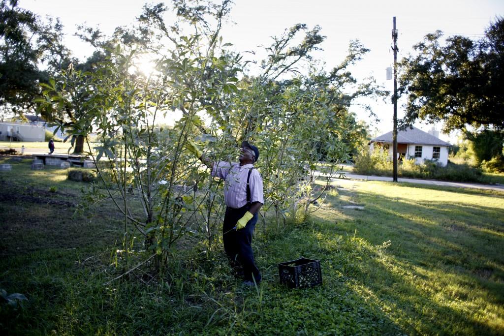 Man growing okra - New Orleans