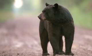 Black bear (Ursus americanus). (Jim Bounds/ Raleigh News & Observer/via Getty Images)