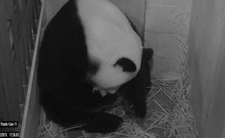 The National Zoo's giant panda Mei Xiang is shown in this Giant Panda Cam image released in Washington, DC August 22, 2015. Giant panda Mei Xiang gave birth to a cub at the Smithsonian?s National Zoo today.   REUTERS/Smithsonian's National Zoo/Handout     FOR EDITORIAL USE ONLY. NOT FOR SALE FOR MARKETING OR ADVERTISING CAMPAIGNS. THIS IMAGE HAS BEEN SUPPLIED BY A THIRD PARTY. IT IS DISTRIBUTED, EXACTLY AS RECEIVED BY REUTERS, AS A SERVICE TO CLIENTS - RTX1PB01