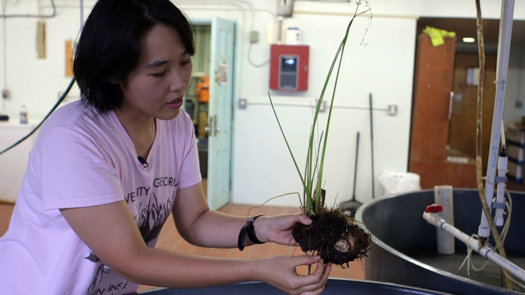 Ecologist Fan Li of the University of Houston explains how marsh plants with rhizomes -- underground horizontal stems -- are better adapted for handling higher salinity. She has recreated the SALTEx mesocosm in kiddie pools at the UGA Marin Institute. In her experiments with saltwater exposure, she has observed that cutgrass plant roots often die, while their rhizomes remain alive. This traits makes cutgrass more resistant to saltwater intrusion. Photo by Mike Fritz