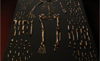 Skeleton of the newly discovered Homo naledi. Courtesy of eLife 2015;4:e09560.