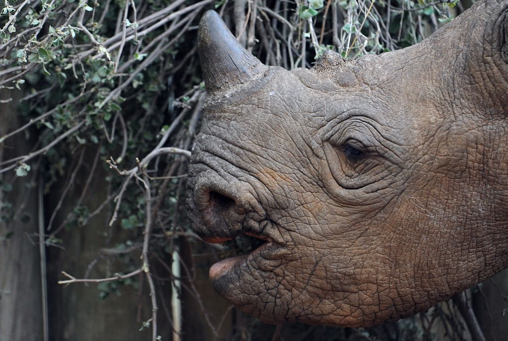 A Black Rhinoceros calf is named Sari's Son after his mother, who was one of four rhinos killed by poachers in June 2014. He's pictured in his enclosure on Aug. 6, 2014 at the Ol Jogi rhino sanctuary in Laikipia county, Kenya, north of the capital Nairobi. Wildlife rangers patrol the sanctuary to protect the animals against poachers. Photo by Tony Karumba/AFP/Getty Images