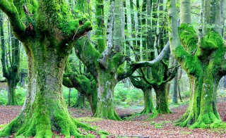 Beech forest,  Gorbea Natural Park, Spain. Photo by Westend61/Via Getty Images