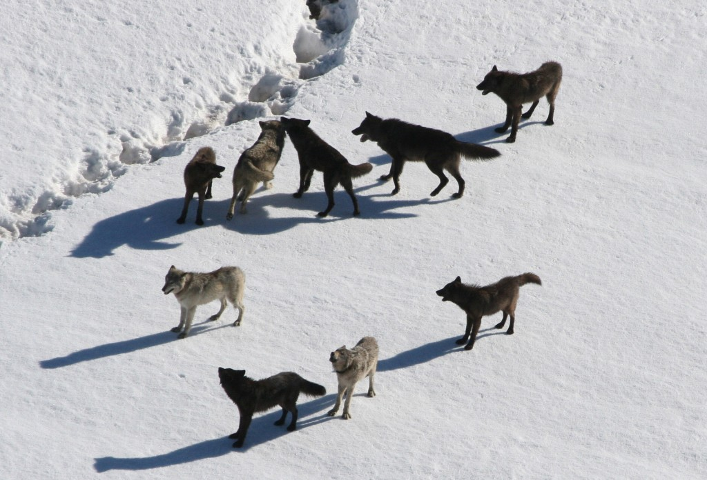 The Gibbon wolf pack standing on snow. Photo by Doug Smith/Via National Park Service