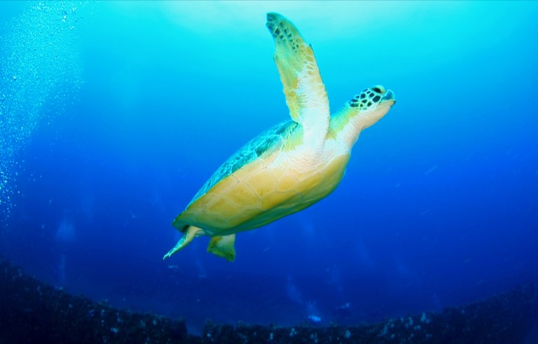 A green sea turtle swims off the coast of Florida. Photo by Jim Abernethy