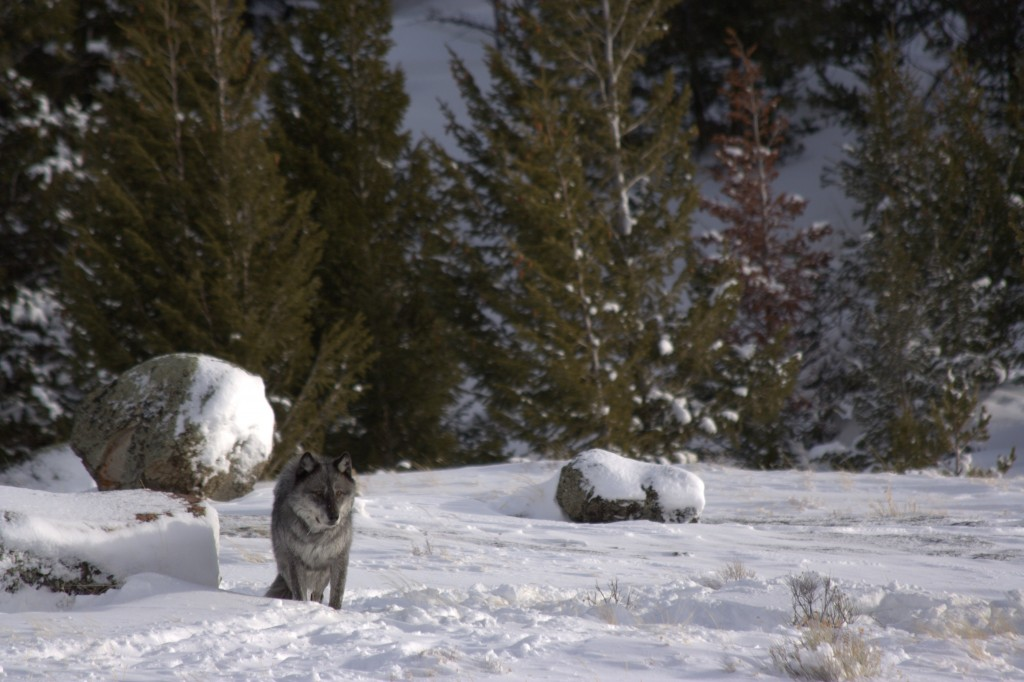 Photo by Arthur Middleton/University of Wyoming/Via U.S. Geological Survey