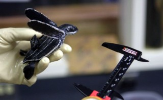Leatherback turtle being measured with calipers at the Florida Atlantic University Marine Research lab. Photo by Mike Fritz