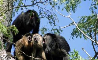 A chorus of howler monkeys of the species Alouatta caraya. Photo by Mariana Raño