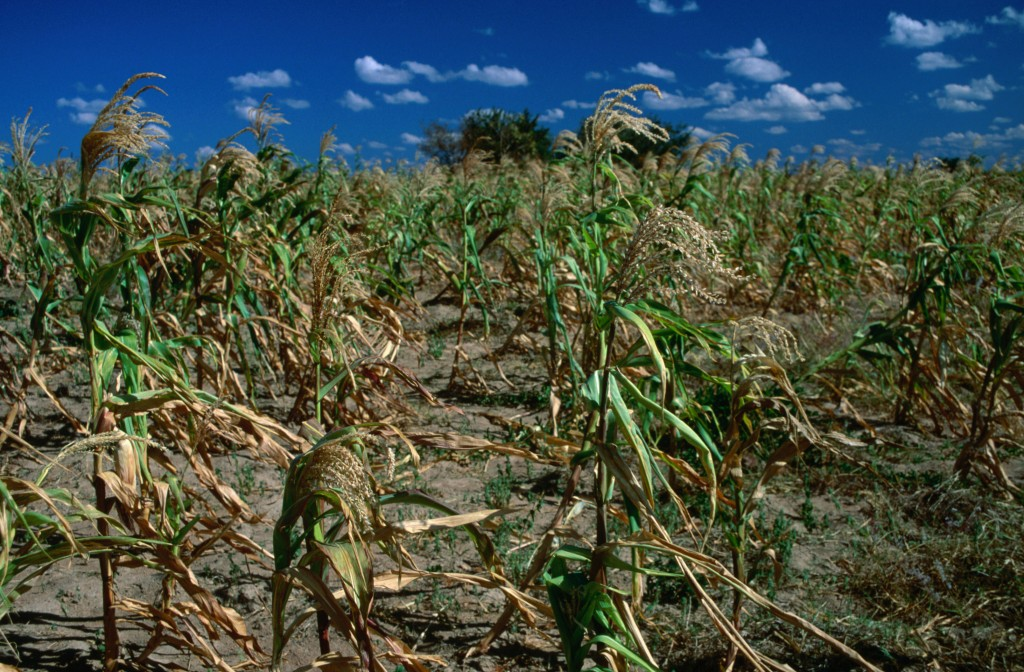 Cornfields during a drought in Tanzania. A 2012 study from MIT predicts that Sub Saharan Africa will witness a decline in the yields of its most common crops over the next century.   Photo by Dennis K. Johnson/via Getty Images