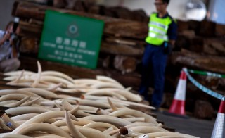 HONG KONG - AUGUST 07:  Ivory tusks seized by Hong Kong customs officials are displayed during a press conference on August 7, 2013 in Hong Kong. Customs officials at the Kwai Chung cargo examination compound seized the HK$41 million haul containing  1,120 ivory tusks, 13 rhino horns and five pieces of leopard skin after searching a container declared as wood from Nigeria.  (Photo by Lam Yik Fei/Getty Images)