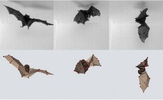 High-speed video and computer models revealed that bats use inertia to make acrobatic flips and land upside down. Photo by Bergou AJ et al. (2015) PLoS Biology
