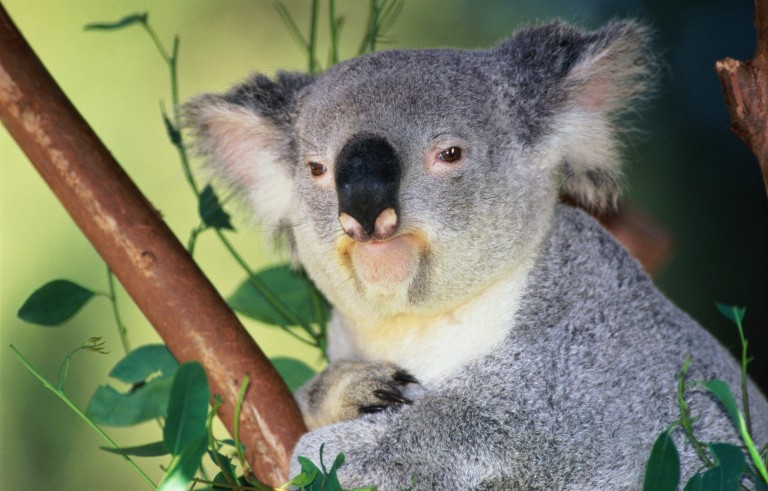 You won't believe the pipes on this one. Koala (Phascolarctos cinereus) sitting in eucalyptus tree. Photo by John Warden/via Getty Images