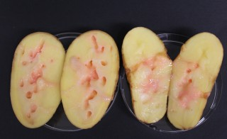 Potato tubers infected with Clostridium puniceum bacteria. Photo by Christian Hertweck
