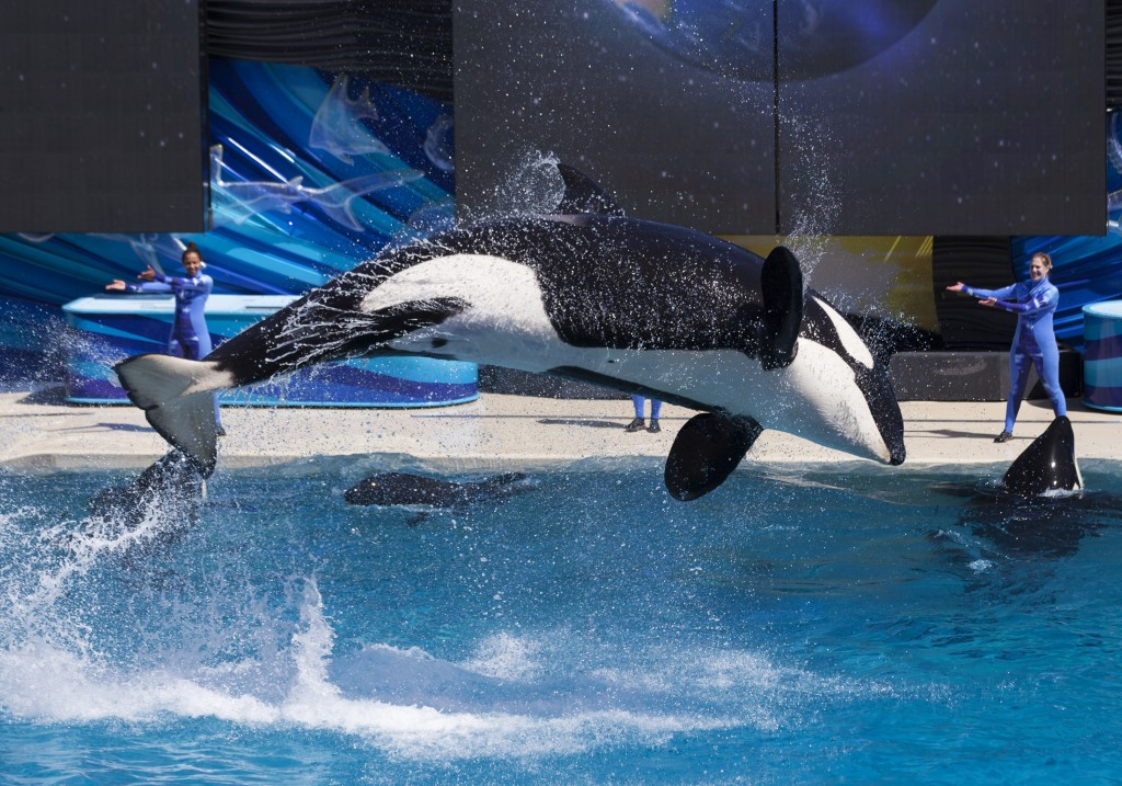"Trainers have Orca killer whales perform for the crowd  during a show at the animal theme park SeaWorld in San Diego, California March 19, 2014. A California lawmaker introduced a bill to ban live performances and captive breeding of killer whales in the state, a measure that would force the SeaWorld San Diego marine theme park to end is popular ""Shamu"" shows.   REUTERS/Mike Blake   (UNITED STATESANIMALS ENVIRONMENT SOCIETY TRAVEL) - RTR3HTDV"