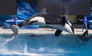 """Trainers have Orca killer whales perform for the crowd  during a show at the animal theme park SeaWorld in San Diego, California March 19, 2014. A California lawmaker introduced a bill to ban live performances and captive breeding of killer whales in the state, a measure that would force the SeaWorld San Diego marine theme park to end is popular """"Shamu"""" shows.   REUTERS/Mike Blake   (UNITED STATESANIMALS ENVIRONMENT SOCIETY TRAVEL) - RTR3HTDV"""