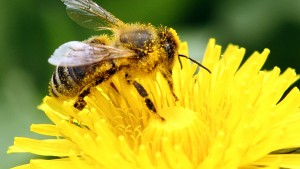 A bee collects pollen from a dandelion blossom on a lawn in Klosterneuburg April 29, 2013. The European Commission said on Monday it would go ahead and impose a temporary ban on three of the world's most widely used pesticides because of fears they harm bees, despite EU governments failing to agree on the issue. In a vote on Monday, EU officials could not decide whether to impose a two-year ban - with some exceptions - on a class of pesticides known as neonicotinoids, produced mainly by Germany's Bayer and Switzerland's Syngenta. The Commission proposed the ban in January after EU scientists said the chemicals posed an acute risk to honeybees, which pollinate many of the crops grown commercially in Europe. R REUTERS/Heinz-Peter Bader  (AUSTRIA - Tags: AGRICULTURE ANIMALS ENVIRONMENT) - RTXZ3DT