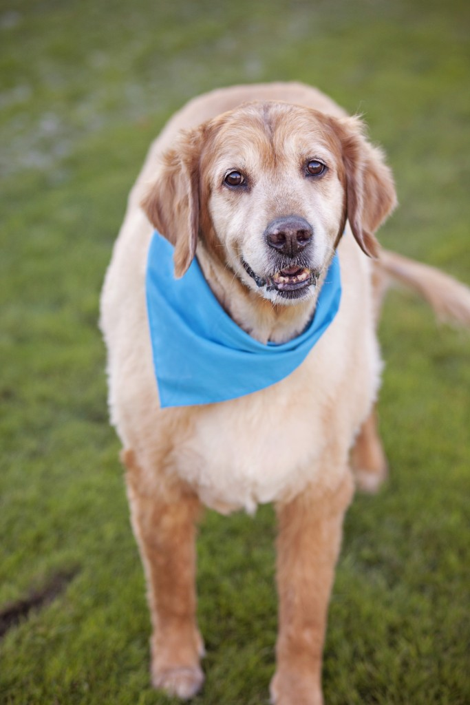 "After he got sprung from a shelter, Rocky moved into the memory care unit of an assisted living facility on a full-time basis. There, the golden retriever helped and supported a group of women with dementia. Copyright Lori Fusaro/""My Old Dog"""