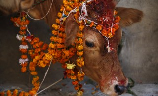 A cow adorned with garlands and smeared with vermilion powder is pictured during a religious ceremony in Kathmandu, Nepal on Nov. 11. Hindus all over Nepal are celebrating the Tihar festival, also called Diwali, during which they worship cows, which are considered a maternal figure, and other animals. Photo by Navesh Chitrakar/Reuters