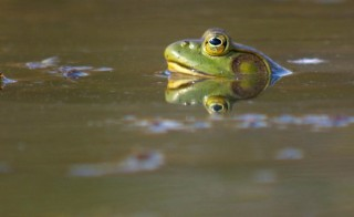 A group in Oregon says one solution to controlling invasive species is to eat them. Major predators like the bullfrog can become less of an ecological threat if people literally brought them to the table. While the group says this really wouldn't solve the problem of invasive species, it would bring more attention to the issue. Photo by Nick Fisher/OPB
