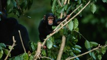Young common chimpanzee (Pan troglodytes) on tree, Africa