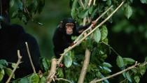 Young common chimpanzee (Pan troglodytes) on tree, Africa