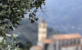 TO GO WITH AFP STORY BY PIERRE LANFRANCHI   A picture taken on November 4, 2014, shows olives in an olive tree in Sainte-Lucie-de-Tallano in the French Mediterranean island of Corsica. Corsica is on alert to protect olive trees against a killer bacteria coming from Italy, the Xylella fastidiosa, which has already wreaked havoc in the Italian region Apulia (Puglia) and threatens the entire Mediterranean orchard. AFP PHOTO / PASCAL POCHARD-CASABIANCA        (Photo credit should read PASCAL POCHARD-CASABIANCA/AFP/Getty Images)